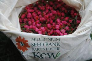 Spindle seeds have been collected as part of the project (RBG Kew/PA)