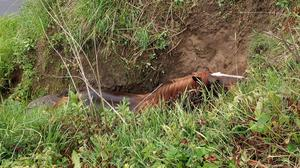 A horse after it became stuck on a riverbank in Nun Monkton, North Yorkshire (Acomb fire station)