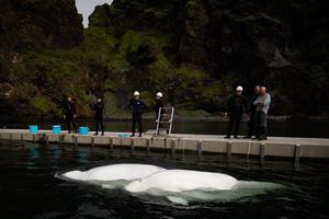 Beluga Whales Little Grey and Little White swim in the bayside care pool (Aaron Chown/PA)