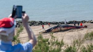 The removal operation begins after a 40ft-long whale washed up on the beach at Clacton-on-Sea in Essex (PA)