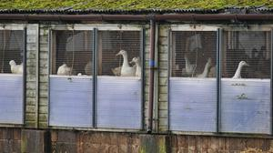 Ducks on a farm in Nafferton, East Yorkshire, where measures to prevent the spread of bird flu are under way