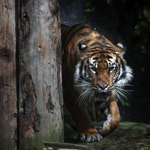 A zoo keeper was killed by a Sumatran tiger at an animal park in Cumbria