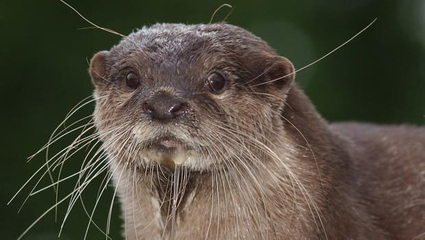 Otter activity in the area could be under threat by the development.