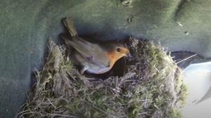 The robin took up residence in the wheel arch of a parked-up Toyota