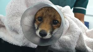 A female fox cub who was found with her head stuck inside an old plastic sweet jar has been freed by the RSPCA (RSPCA)
