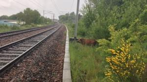 The boar was initially identified as a pig (ScotRail/PA)