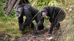 The findings may point to a foundation for dancing in a common ancestor of chimpanzees and humans (Danny Lawson/PA)