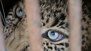 The rescued leopard looks through the cage as it is pulled to safety (Credit: Wildlife SOS/PA)