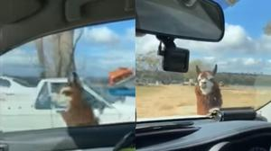 The llama chased the police car (Western Australia Police Force)