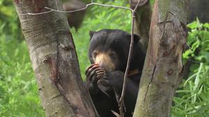 A sun bear at Chester Zoo – (Chester Zoo/Press Association)