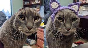 Lady In A Fur Coat with her crocheted purple ears (Dane County Humane Society)