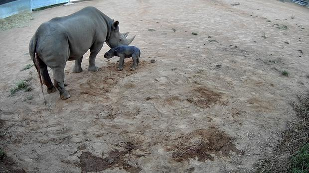A black rhino calf born at Taronga Western Plains Zoo (Taronga Conservation Society Australia/PA)