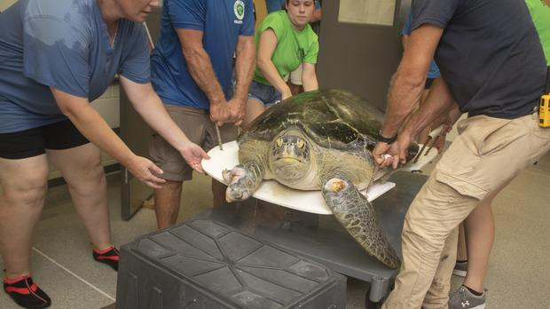 Guacamole, a green sea turtle, is weighed (Brevard Zoo)