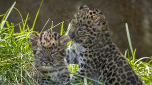 The pair of endangered Amur leopard cubs born at San Diego Zoo (Ken Bohn/San Diego Zoo Global/PA)