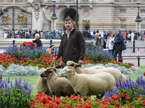 Sheep outside Buckingham Palace which will graze in Green Park for a conservation trial