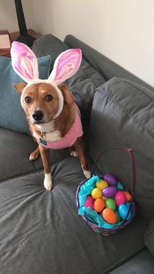 Dog in bunny ears with eggs on sofa