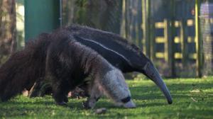 Anteater at Chester Zoo