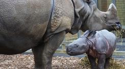 The baby rhino and her mother at Whipsnade Zoo (ZSL Whipsnade Zoo/PA)