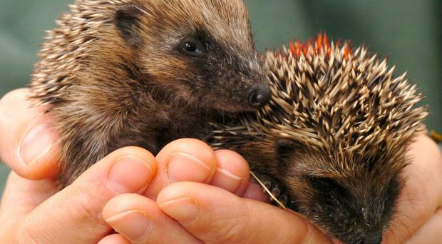 People are being advised about how to keep hedgehogs safe ahead of November 5 (PA)