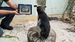 Pierre the northern rockhopper penguin has been watching Pingu at Perth Zoo (Perth Zoo/PA)