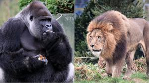 Would you rather have gorillas or lions on your team? (Gareth Fuller/Ben Birchall/PA)
