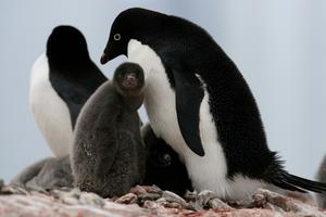 Adult Adelie penguins (Pygoscelis adeliae) with chicks at their nesting site in Antarctica. (Natalie Bowes WWF-Canada)