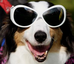 A dog wearing sunglasses (Jane Mingay/PA)