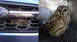 An owl trapped in the grille of a car (Hatteras Island Wildlife Rehabilitation)