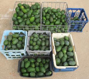 Hundreds of stolen avocados