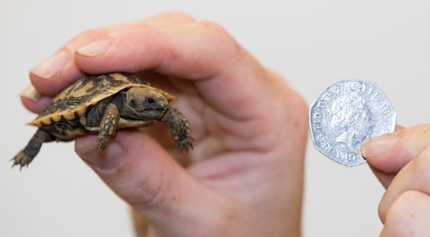 This tortoise is tiny (Aaron Chown/PA)