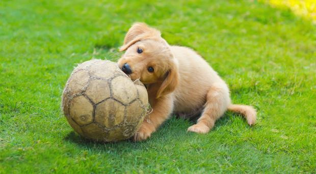 A puppy plays with a football (Arthito/Getty Images)