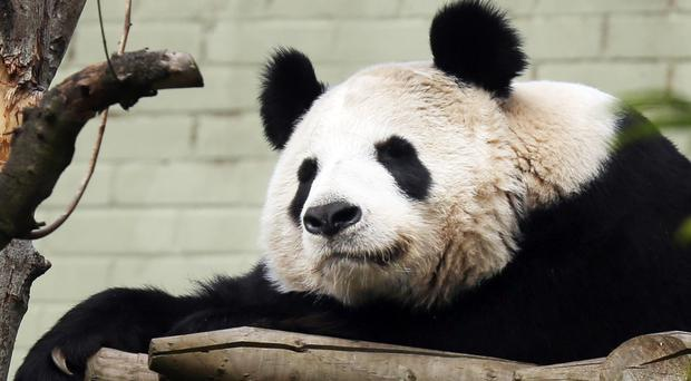 Pandas can live up to 30 years old in capitivity (David Cheskin/PA)