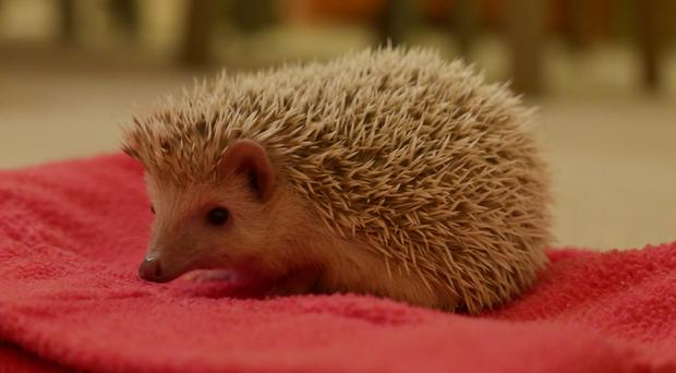 This African pygmy hedgehog was found at a London Underground station. (RSPCA)