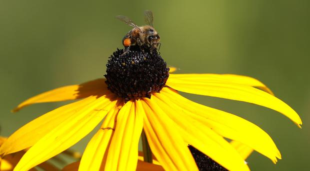 A honey bee collects pollen on his leg from a rudbeckia plant in a park in London