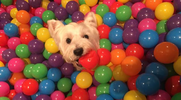 Dog in a ball pit (Pets by Wellness/PA)