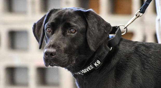Central Intelligence Agency  fires bomb-sniffing dog after she lost interest in sniffing explosives