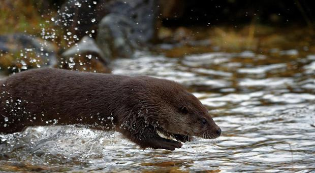 An otter dives into the water (Colin Seddon/Scottish SPCA/PA)