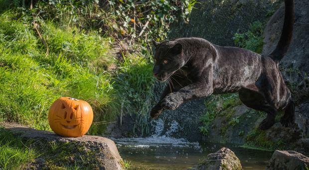 A black jaguar at Chester Zoo goes after a pumpkin