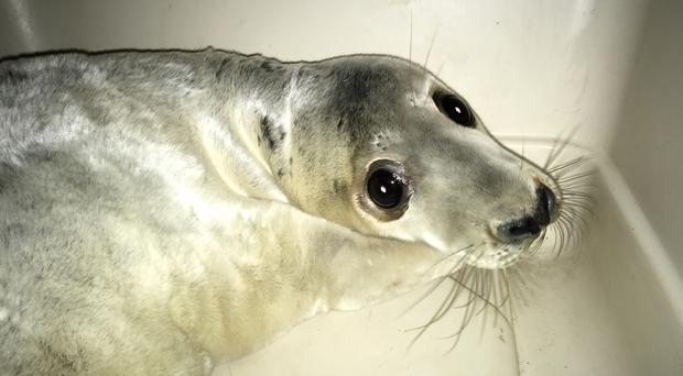 A seal pup nicknamed Miracle, after it was rescued from under a one-tonne boulder near Port Talbot steelworks in South Wales