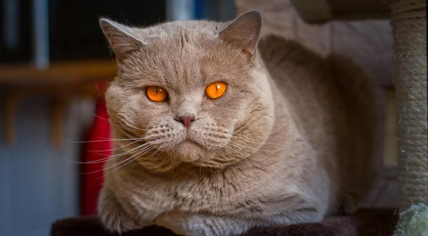 Grey fat cat (KavalenkavaVolha/Getty Images)