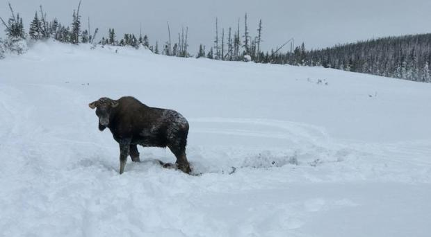 The moose in snow (Sledcore/PA)