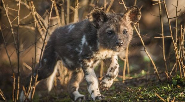 A hunting dog pup