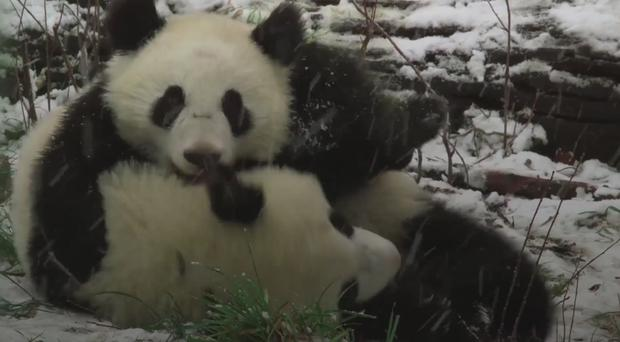 Two pandas in the snow at Vienna Zoo