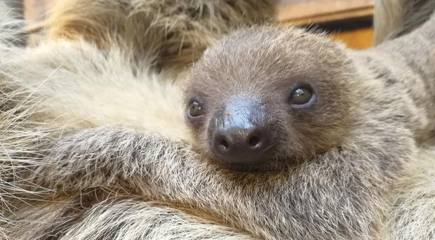 The baby sloth