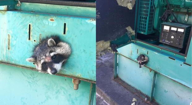 The raccoon with its head stuck in the hole