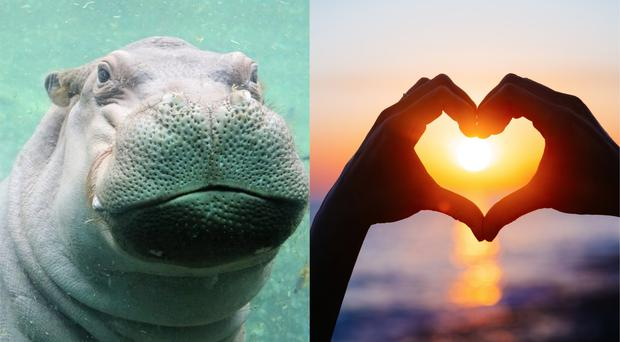 Timothy the hippo and love symbol