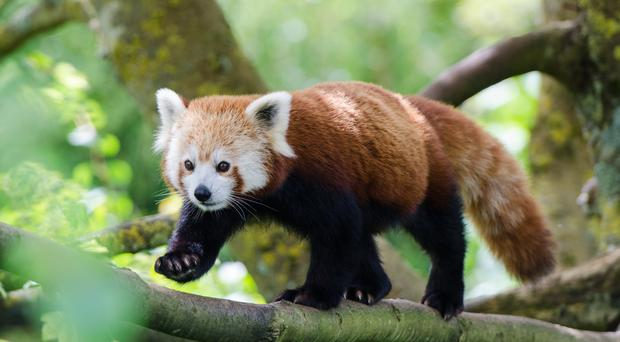 Red Panda (Ailurus fulgens)(Tonygeo/Getty Images)
