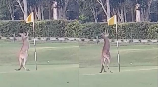 The kangaroo boxing a golf course flag (Bettina Hammant/Facebook)