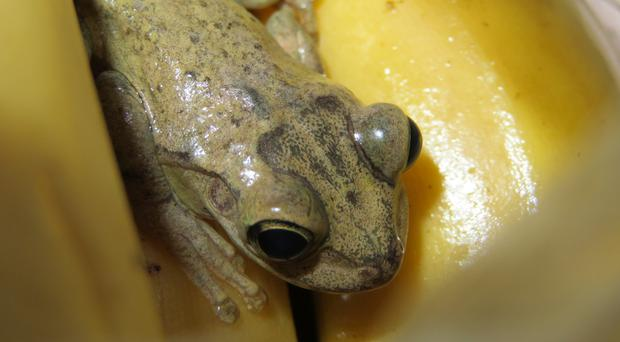 Tree frog found in Tesco bananas (RSPCA)