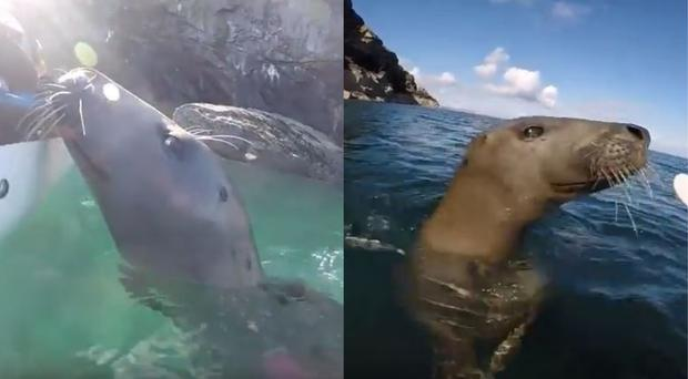 Seal trying to climb aboard a kayak